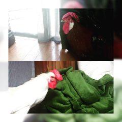 烏骨鶏と土佐サブロー